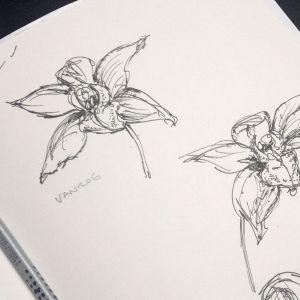 orchid skectch vanroe